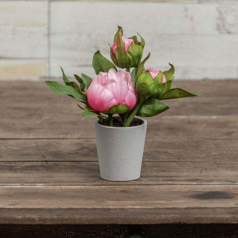 Pink Potted Peony