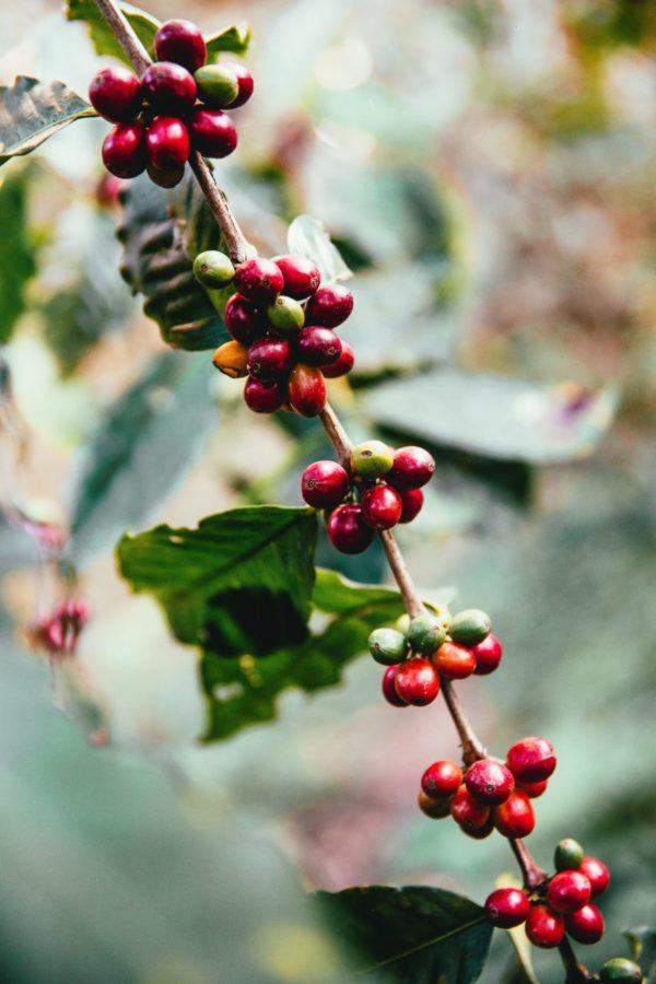 Costa Rica –  Fair Trade Organic