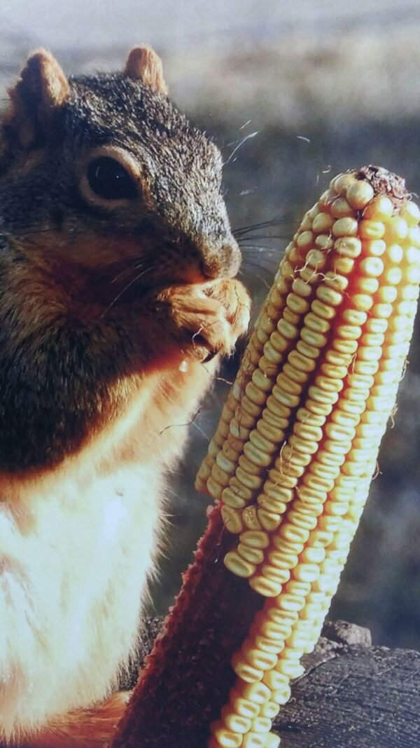 Squirrel Eating Corn gallery mounted photo by Sue Moss